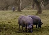 Vleesrassen
